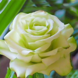 Роза чайно-гибридная Супер Грин изображение 8