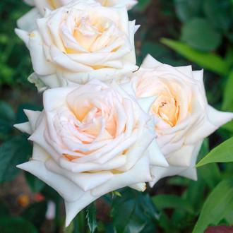 Роза чайно-гибридная Ванилла Парфюм изображение 7