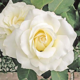 Роза чайно-гибридная Вайт Симфони изображение 7