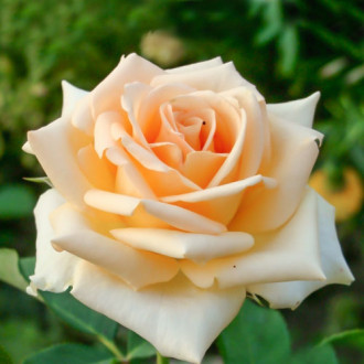 Роза чайно-гибридная Версилия изображение 3