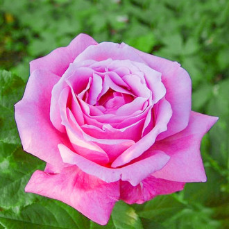 Роза чайно-гибридная Виолет Парфюм изображение 3
