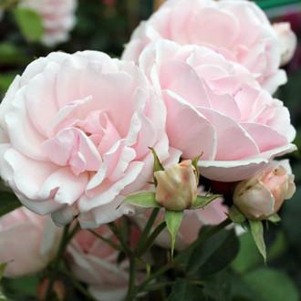 Роза флорибунда Баллада изображение 8