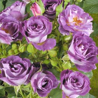 Роза флорибунда Блю фо Ю изображение 1