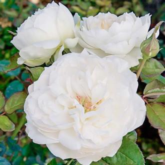 Роза флорибунда Болеро изображение 4