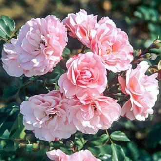 Роза флорибунда Боника изображение 3
