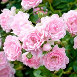 Роза флорибунда Боттичелли изображение 1
