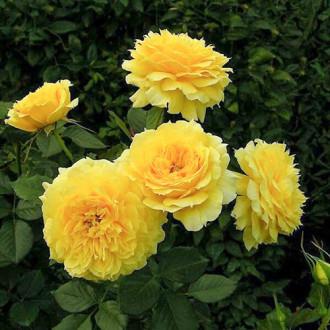 Роза флорибунда Чайна Герл изображение 1