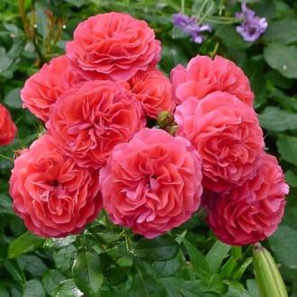 Роза флорибунда Черри Герл изображение 5