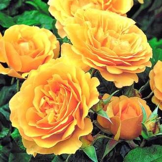 Роза флорибунда Джулия Чайлд изображение 5