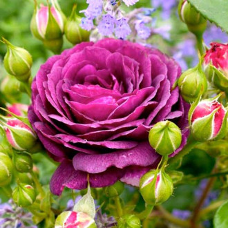 Роза флорибунда Эбб Тайд изображение 6