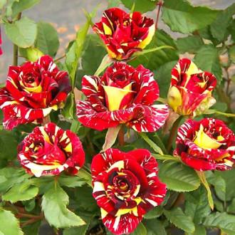 Роза флорибунда Фокус Покус изображение 4