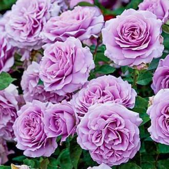 Роза флорибунда Лав Сонг изображение 5