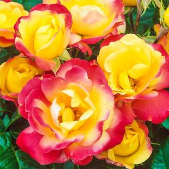 Роза флорибунда Маскарад изображение 5