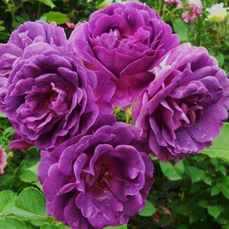 Роза флорибунда Минерва изображение 5