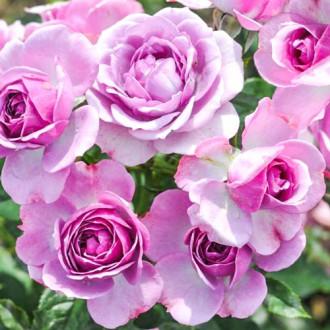 Роза флорибунда Пинк Диадем изображение 1