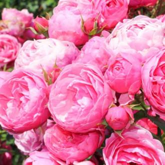 Роза флорибунда Помпонелла изображение 4