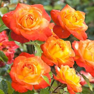 Роза флорибунда Солнечная Девочка изображение 3