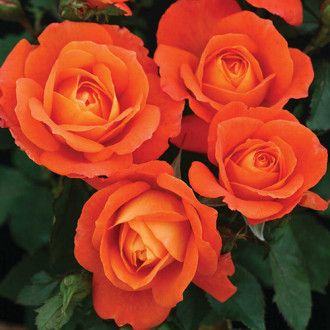 Роза флорибунда Супер Трупер изображение 4