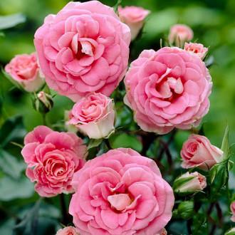 Роза флорибунда Том Том изображение 5