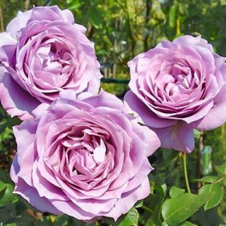 Роза чайно-гибридная Новалис изображение 3