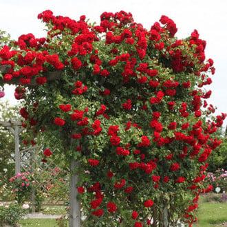 Роза плетистая Амадеус изображение 3