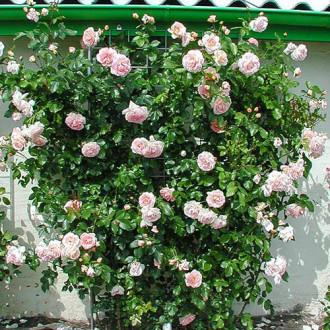 Роза плетистая Амаретто изображение 5
