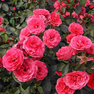 Роза плетистая Антик изображение 2
