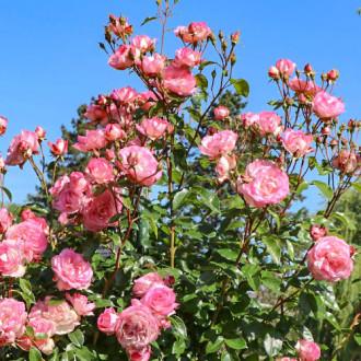 Роза плетистая Арлекин изображение 7