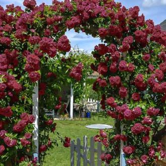 Роза плетистая Черный Принц изображение 5