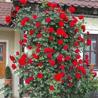 Роза плетистая Девичьи грезы изображение 7
