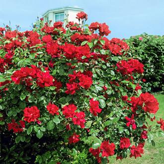 Роза плетистая Дон Жуан изображение 4