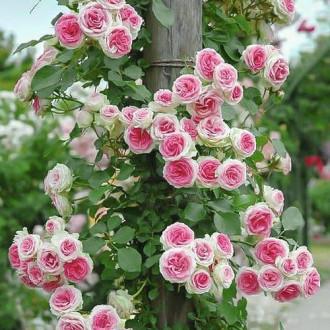 Роза плетистая Эден Роуз изображение 6