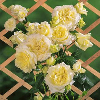 Роза плетистая Эльф изображение 5