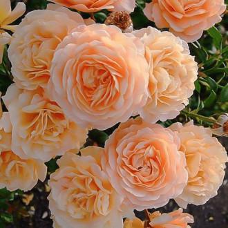 Роза плетистая Эприкот Скай изображение 8