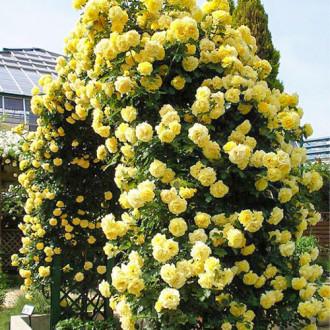 Роза плетистая Голден Ковер изображение 6