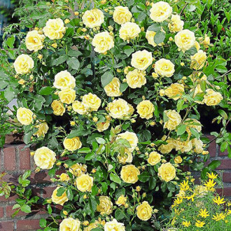 Роза плетистая Голден Шауэрс изображение 3