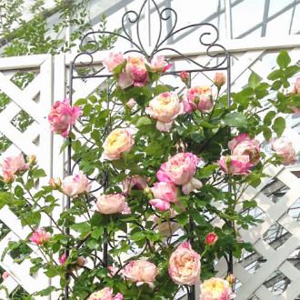 Роза плетистая Импрессионист изображение 7