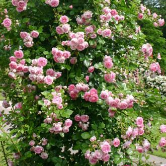 Роза плетистая Жасмина изображение 6