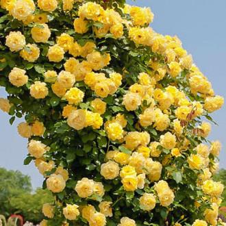 Роза плетистая Казино изображение 8