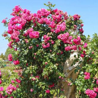 Роза плетистая Лагуна изображение 2