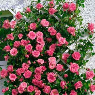 Роза плетистая Лавиния изображение 8