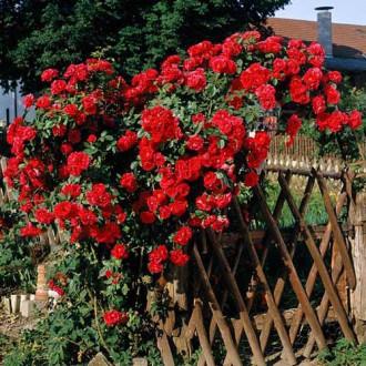 Роза плетистая Малиновая крупная изображение 3