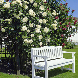 Роза плетистая Мон Блан изображение 8
