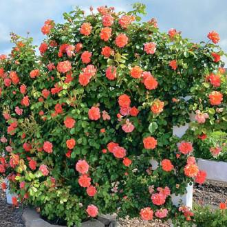 Роза плетистая Оранж Лемон изображение 4
