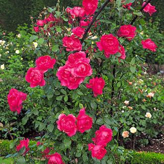 Роза плетистая Парад изображение 6