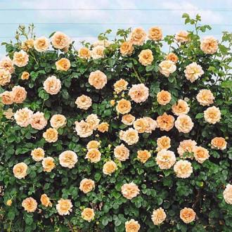 Роза плетистая Полька изображение 8