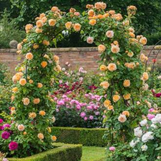 Роза плетистая Принцесса Маргарет изображение 4