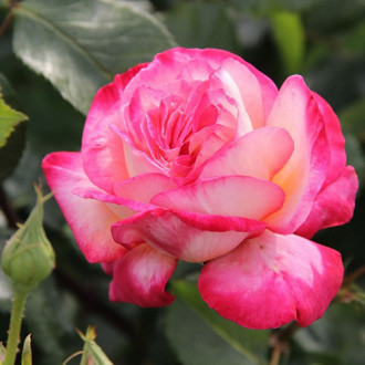 Роза плетистая Рина Хернолд изображение 1