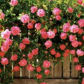 Роза плетистая Розовая жемчужина изображение 6