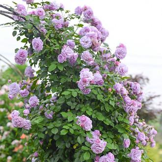 Роза плетистая Си-Си изображение 6